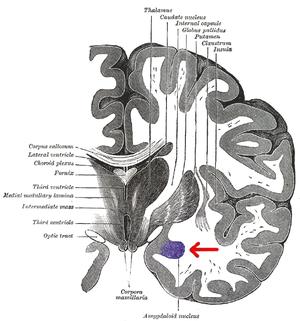 Gray_718amygdala