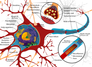 Complete_neuron_cell_diagram_ensvg