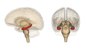 Hippocampus_image